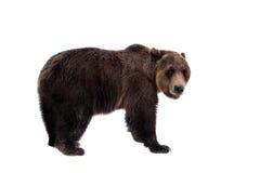 Orso di Brown, arctos del Ursus Fotografie Stock