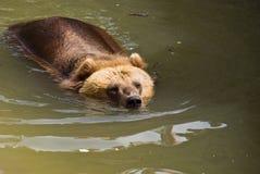 Orso di Brown (arctos del Ursus) Immagini Stock Libere da Diritti