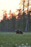 Orso di Brown che cammina in ritardo alla notte Fotografie Stock
