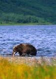 Orso di Brown che cattura un salmone in lago Immagine Stock Libera da Diritti