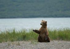 Orso di Brown che si siede sulla spiaggia Immagini Stock