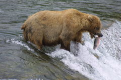 Orso di Brown con i salmoni Fotografie Stock Libere da Diritti