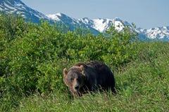 Orso di Brown d'Alasca Fotografia Stock