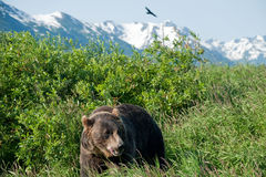 Orso di Brown d'Alasca Fotografie Stock Libere da Diritti