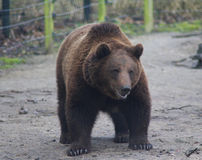 Orso di Brown europeo immagine stock