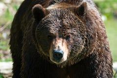Orso di Brown (lat. arctos del ursus) fotografia stock