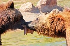 Orso di Brown nel Croatia Immagini Stock