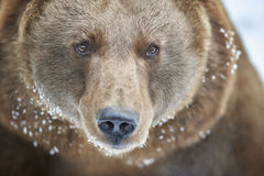 Orso di Brown in neve Immagini Stock Libere da Diritti