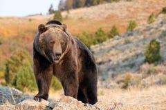 Orso di Brown nordamericano (orso dell'orso grigio) Fotografia Stock Libera da Diritti