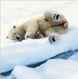 Orso di ghiaccio Fotografia Stock