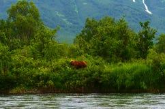 Orso di Kamchatskiy Immagine Stock Libera da Diritti