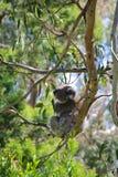 Orso di koala Fotografie Stock
