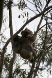 Orso di koala immagini stock