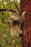 Orso di koala australiano selvaggio liberamente nell'isola di Stradbroke degli alberi di gomma della foresta, Australia Fotografia Stock
