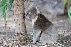 Orso di Koala che cerca migliore albero Immagini Stock