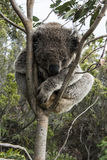 Orso di koala che dorme nell'albero Fotografie Stock Libere da Diritti
