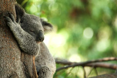 Orso di Koala che dorme in un albero Immagini Stock Libere da Diritti