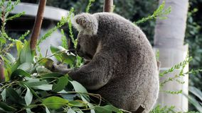 Orso di Koala che mangia i fogli dell'eucalyptus immagine stock libera da diritti
