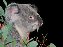 Orso di Koala che mangia i fogli dell'eucalyptus fotografia stock