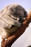 Orso di Koala di sonno Fotografia Stock Libera da Diritti