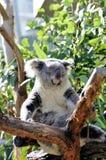 Orso di koala di sonno Fotografia Stock