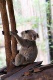 Orso di koala nello zoo della foresta fotografia stock
