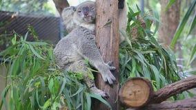 Orso di koala sveglio che dorme sull'albero Fotografia Stock