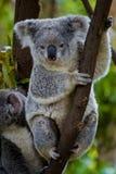 Orso di Koala in un albero Fotografia Stock Libera da Diritti