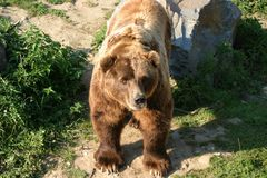 Orso di Kodiak Fotografie Stock Libere da Diritti