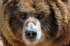 Orso di Kodiak con la mosca sul radiatore anteriore. Fotografia Stock Libera da Diritti