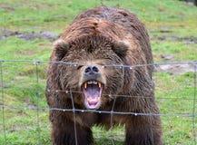 Orso di Kodiak di ringhio Fotografie Stock