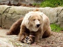 Orso di Kodiak e preda Immagine Stock Libera da Diritti