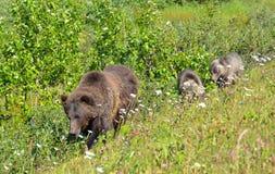 Orso di mamma di Montagne Rocciose del canadese e due cuccioli Fotografia Stock Libera da Diritti