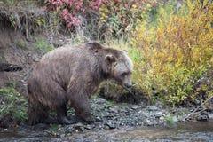Orso di North-american Brown - orso grigio Fotografia Stock Libera da Diritti
