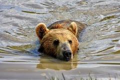 Orso di nuoto Fotografie Stock