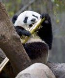 Orso di panda cinese in albero che mangia bambù, porcellana Fotografia Stock