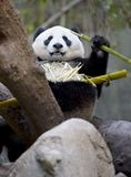 Orso di panda cinese che mangia bambù, porcellana Fotografia Stock