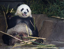 Orso di panda gigante Fotografie Stock Libere da Diritti