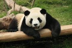 Orso di panda gigante (Ailuropoda Melanoleuca), Cina Immagine Stock Libera da Diritti
