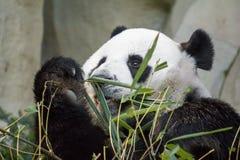 Orso di panda gigante che mangia bambù Fotografie Stock
