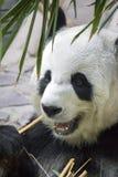 Orso di panda gigante che mangia bambù Immagini Stock