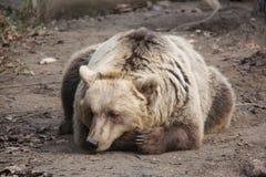 Orso di sonno Immagine Stock