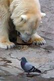 Orso e piccione Fotografia Stock