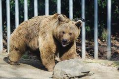 Orso in giardino zoologico Fotografia Stock Libera da Diritti