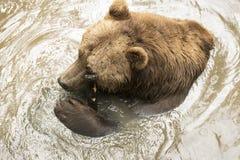 Orso grigio in acqua Fotografia Stock