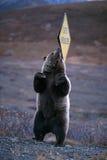 """Orso grigio che graffia la sua parte posteriore su un segno del  di Shoulder†del """"Soft ( Immagine Stock Libera da Diritti"""