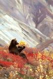 Orso grigio che si siede nella toppa di cibo dei mirtilli (arcto di ursus Immagini Stock Libere da Diritti