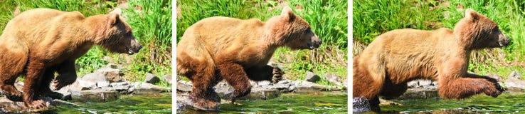 Orso grigio dell'Alaska Brown che pesca saltando attacco Immagine Stock