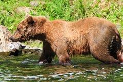 Orso grigio dell'Alaska Brown tutto il bagnato Immagini Stock Libere da Diritti