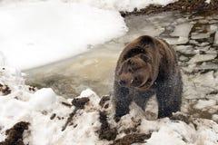 Orso grigio di marrone dell'orso nero nell'inverno Immagini Stock